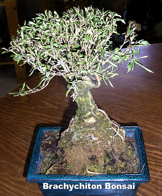 Kurrajong Bottle Tree 10 Seeds - Brachychiton populneus -Tropical