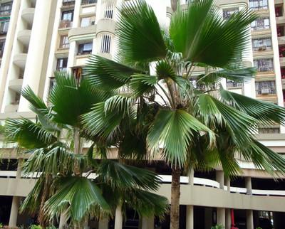 Fiji Fan Palm 5 Seeds - Pritchardia pacifica