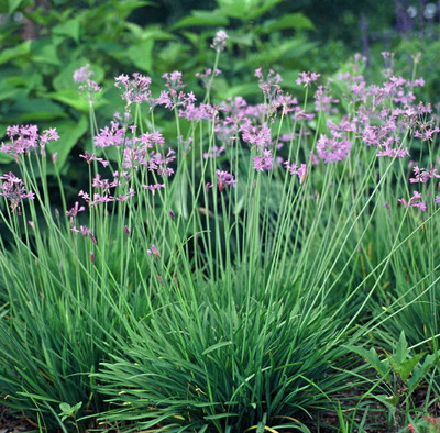 Society Garlic 20 Seeds - Indoor Garlic -Tulbaghia-Herb