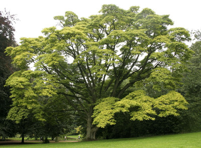 Amur Cork Tree 6 Seeds - Phellodendron amurense -Bonsai