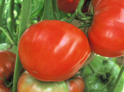 Mule Team Tomato - 20 Seeds - Mildly Sweet