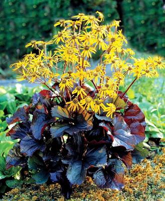 Midnight Lady Rocket 20 Seeds - Ligularia - Perennial