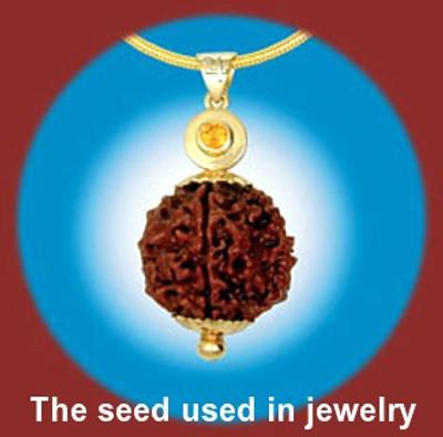 Utrasum Bead Tree 5 Seed-Rudraksha-Elaeocarpus-Tropical