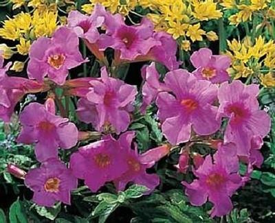 Rose Hardy Gloxinia 10 Seeds - Incarvillea - Perennial