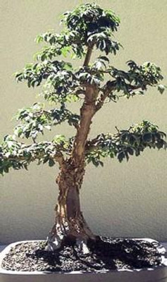 Chinese Paperbark Maple 10 Seeds - Acer griseum