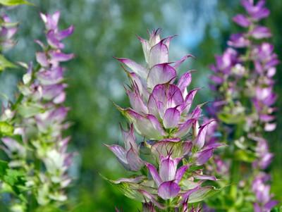 Clary Sage - 100 Seeds - Heirloom/Medicinal