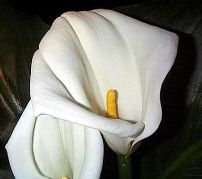 White Calla Lily 5 Seeds - Zantedeschia - Indoors/Out