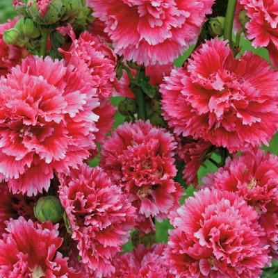Hollyhock 'Fiesta Time' - 35 Seeds - Alcea - Perennial