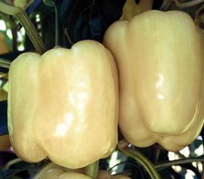 White Bell Sweet Pepper - 20 Seeds