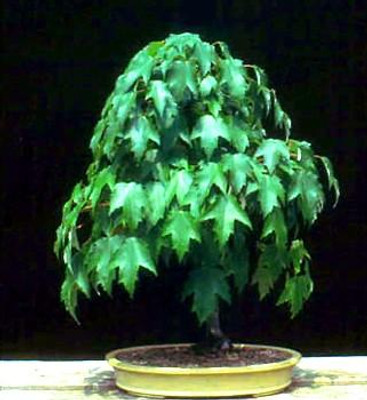 Red Maple 10 Seeds/Seed - Acer rubrum - Bonsai