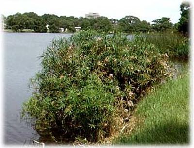 Umbrella Plant 50 Seeds - Cyperus alternifolia -Aquatic