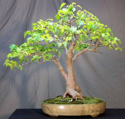 Amur Maple 10 Seeds - Acer ginnala - Bonsai/Outdoors