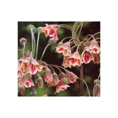 Mediterranean Bells - 10 Seeds - Nectaroscordum