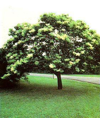 Japanese Tree Lilac 6 Seeds - Syringa - Fragrant -Shrub