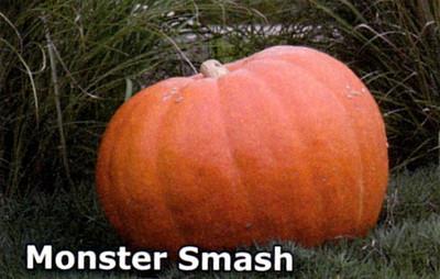 Monster Smash Pumpkin 10 Seeds - Huge! - Reddish Orange