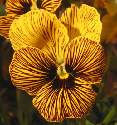 Angel Tiger Eye Hardy Violet - 25 Seeds - Viola - New Color