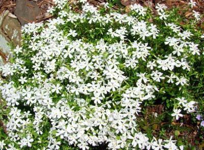 Night Blooming Creeping Phlox 250 Seeds - Annual