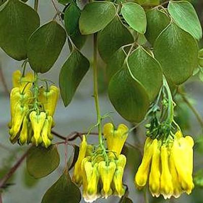 Golden Tears Bleeding Heart 15 Seeds - Dicentra - Vine