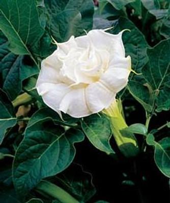 Dwarf Double White Angels Trumpet 10 Seeds-Datura
