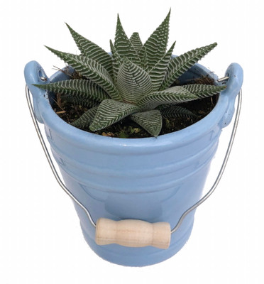 "Blue Ceramic Pail Planter with Live Succulent Plant - 3.25"" x 4.25"