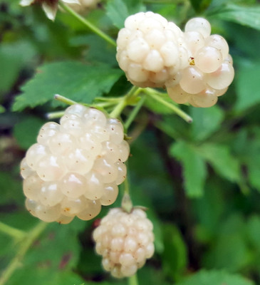 "Amazing White Blackberry - Unique Heirloom Variety - Rubus - 4"" Pot - Rare Plant"
