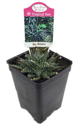 """World's Smallest Aloe Plant - FairyGarden/Houseplant - 2.5"""" Pot"""