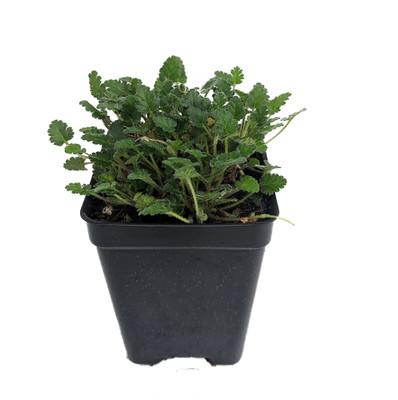 "Fairy White Erodium - White Cranesbill / Alpine Geranium -2.5"" Pot - Fairy Garden"