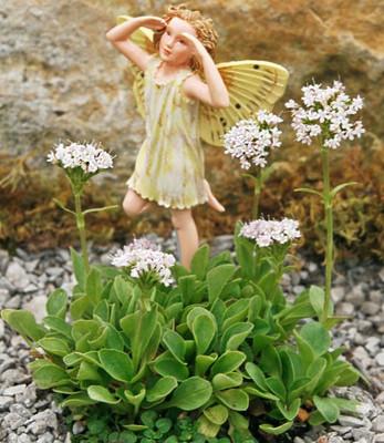 "Miniature Alpine Pink Valerian Plant - Fairy Garden - 2.5"" Pot"