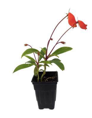 "Bolivian Sunset Gloxinia Plant - Seemannia sylvatica - 2.5"" Pot - Collector's"
