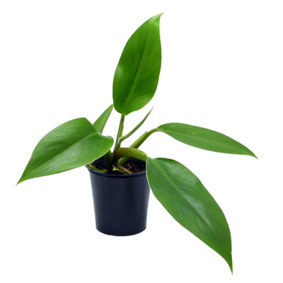 """Imperial Green Philodendron - Easy to Grow - 2.5"""" Pot - Collector's Series"""