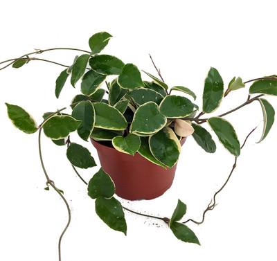 """Krimson Queen Wax Plant - Hoya - 6"""" Pot - Trending"""