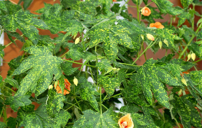 "Variegated Flowering Maple / Chinese Lantern - Abutilon - 2.5"" Pot"