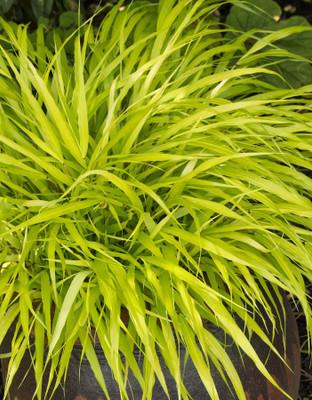"""All Gold Japanese Forest Grass - Hakonechloa - Shade Lover - 4"""" Pot"""