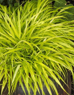 "All Gold Japanese Forest Grass - Hakonechloa - Shade Lover - 2.5"" Pot"