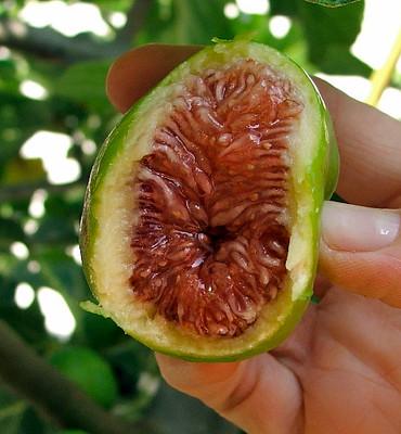 "Desert King Edible Fig Plant - Ficus carica - Sweet - 4"" Pot"