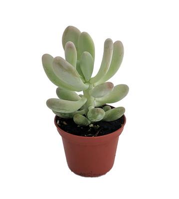 "Pink Moonstone Succulent Plant - Pachyphytum bracteosum - Easy to grow -2.5"" Pot"