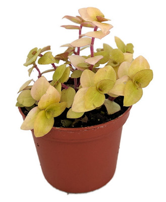 "Copper Jewel Vine - Turtle Vine - Inch Plant - Callisia - House Plant - 2.5"" Pot"
