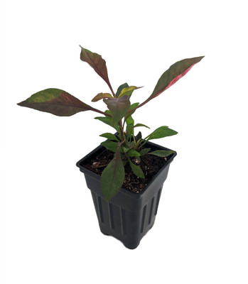 "Biblical Red St. Joseph's Coat Plant -Alternanthera- Easy Houseplant - 2.5"" Pot"