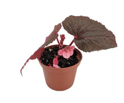 "Heirloom Corallina de Lucerna Angel Wing Begonia - 2.5"" Pot - Great House Plant"