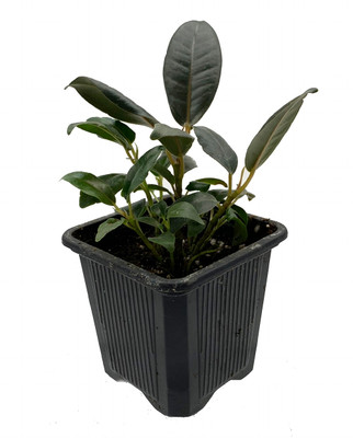"Burgundy India Rubber Tree Plant - Ficus - An Old Favorite - 2.5"" Pot"