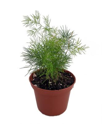 "Chinese Ming Fern - Asparagus macowanii/retrofractus -2.5"" Pot - Easy to Grow"