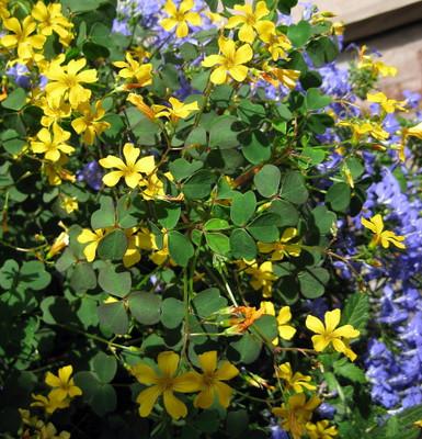 "Burgundy Gold Lucky Shamrock- Oxalis - 2.5"" Pot - Fairy Garden Plant/House Plant"