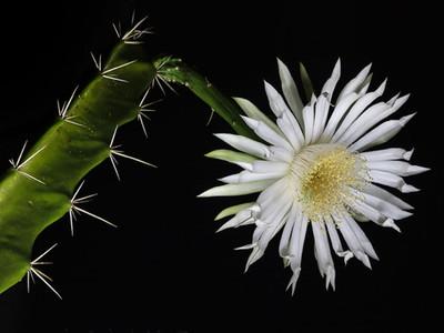 """Acathocereus tetragonus - Night Blooming Cactus - 2.5""""  Pot"""