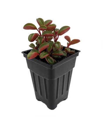 "Ruby Glow Peperomia Plant - Peperomia graveolens - 2.5"" Pot - Easy to Grow!"