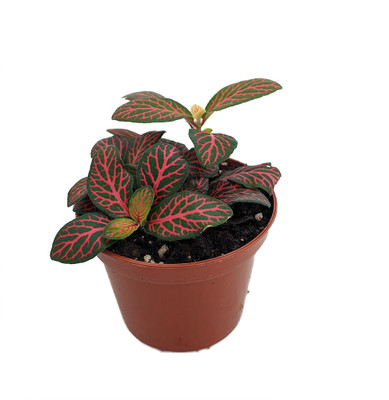 """Mini Red Veined Nerve Plant - Fittonia - Easy House Plant - 2.5"""" Pot"""