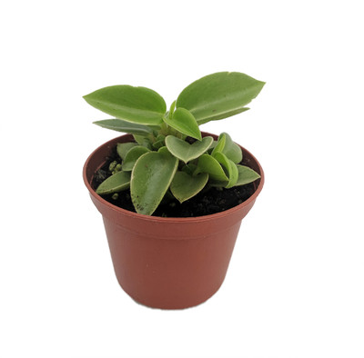 """Limey Pixie Compact Peperomia - 2.5"""" Pot - Easy to Grow House Plant"""