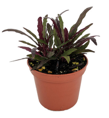 "Dragon's Tongue Plant - Hemigraphis - Terrarium/FairyGarden/Houseplant- 2.5"" Pot"
