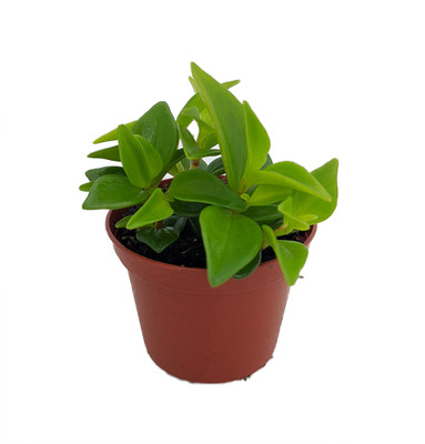 "Cypress Peperomia - Peperomia glabella - Easy Succulent Houseplant - 2.5"" Pot"