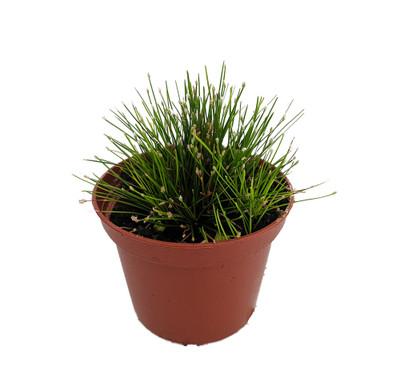 """Mini Fiber Optic Grass - Isolepis/Scirpus cernuus - Fairy Garden Plant -2.5"""" Pot"""