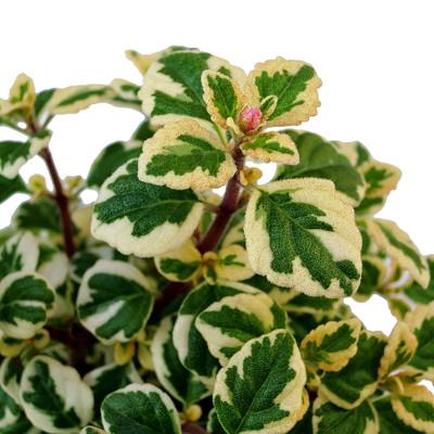 """Rare Kandy Kisses Plant - Hemizygia - 2.5"""" Pot - Easy to Grow House Plant"""